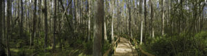 Everglade boardwalk panorama